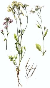 Radis ravenelle (Raphanus raphanistrum L.)
