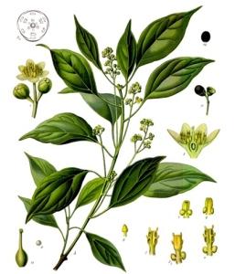 Ravintsara ou camphrier (cinnamomum camphora)