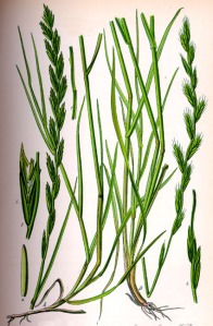 Ray-grass (Lolium perenne L.)