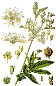 Reine-des-prés (Filipendula ulmaria (L.)