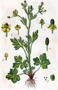 Renoncule scélérate (Ranunculus sceleratus L. )