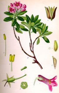 Rhododendron cilié (Rhododendron hirsutum)