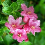 Rhododendron cilié