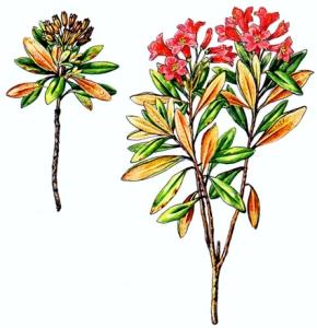 Rhododendron ferrugineux (Rhododendron ferrigineum L.)
