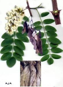 Robinier (Robinia pseudoacacia)