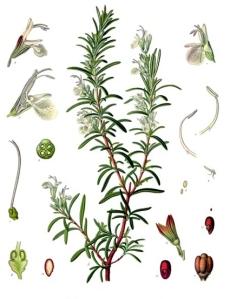 Romarin ( Rosmarinus officinalis)