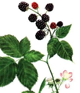 Ronce (Rubus fructicosus L.)