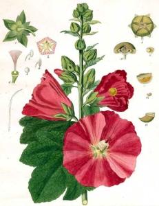 Rose trémière (Alcea rosea)