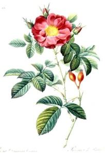 Rosier de Damas (Rosa damascena)