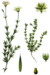 Sabline à feuilles de Serpolet (Arenaria serpyllifolia L.)