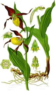 Sabot de Vénus (Cypripedium calceolus L.)