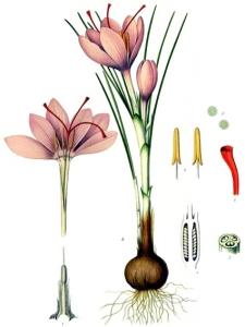 Safran (Crocus Sativus Linnaeus)