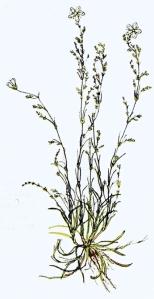 Sagine noueuse (Sagina nodosa L.)
