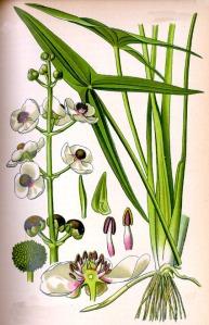 Sagittaire (Sagittaria sagittifolia L.)