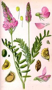 Sainfoin à feuille de Vesce (Onobrychis viciifolia)