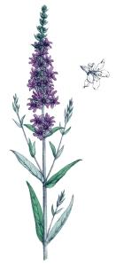 Salicaire (Lythrum salicaria)