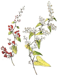 Salsepareille (Smilax aspera L.)
