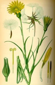 Salsifis des prés (Tragopogon pratensis L.)