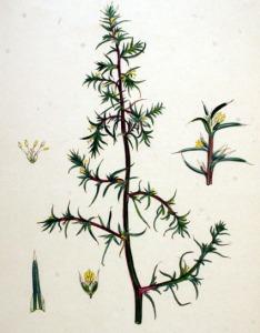 Salsola kali (Salsola kali L.)