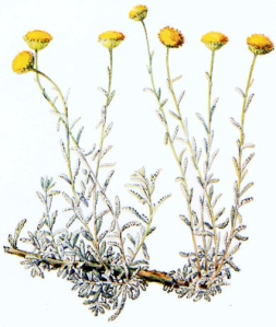 Santoline (Santolina chamaecyparissus)