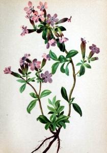 Saponaire (Saponaria ocymoides L.)