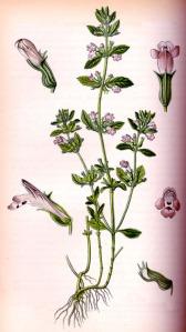Sarriette (Satureja hortensis)