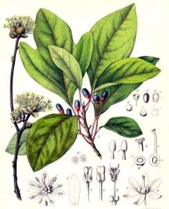 Sassafras (Sassafras officinalis)