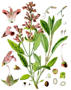 Sauge (Salvia officinalis L.)