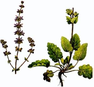 Sauge verveine (Salvia verbenaca)