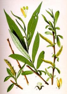 Saule blanc (Salix alba L.)