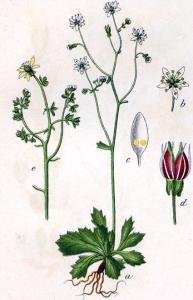 Saxifrage étoilée (Saxifraga stellaris L.)