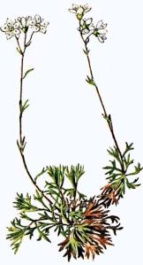 Saxifrage faux-hypne (Saxifraga hypnoides L.)
