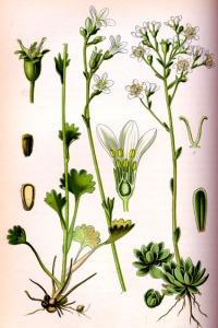 Saxifrage (Saxifraga adscendens L.)