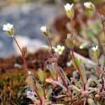 Saxifrage tridactyle