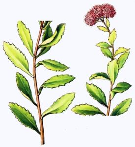 Sédum (Sedum telephium)