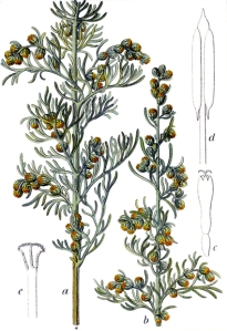 Sémentine (Artemisia maritima)