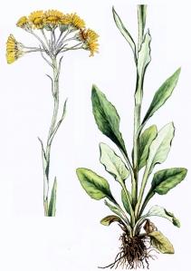 Séneçon à feuilles blanches (Senecio helenitis L.)