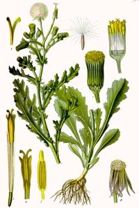 Séneçon commun (Senecio vulgaris L.)