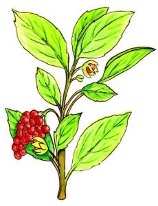 Schisandra chinensis (Fructus Schisandrae)