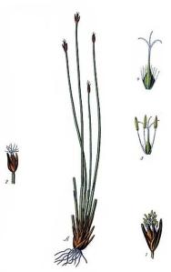 Scirpe des lacs (Scirpus lacustris L.)