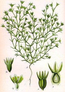 Scléranthe annuelle (Scleranthus annuus L.)
