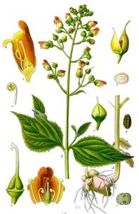 Scrofulaire noueuse ( Scrophularia nodosa L.)