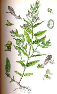 Scutellaire à casque (Scutellaria galericulata L.)