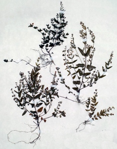 Scutellaire mineure (Scutellaria minor L.)