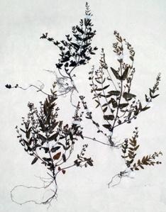 Scutellaire mineure (Scutellaria minor L.)