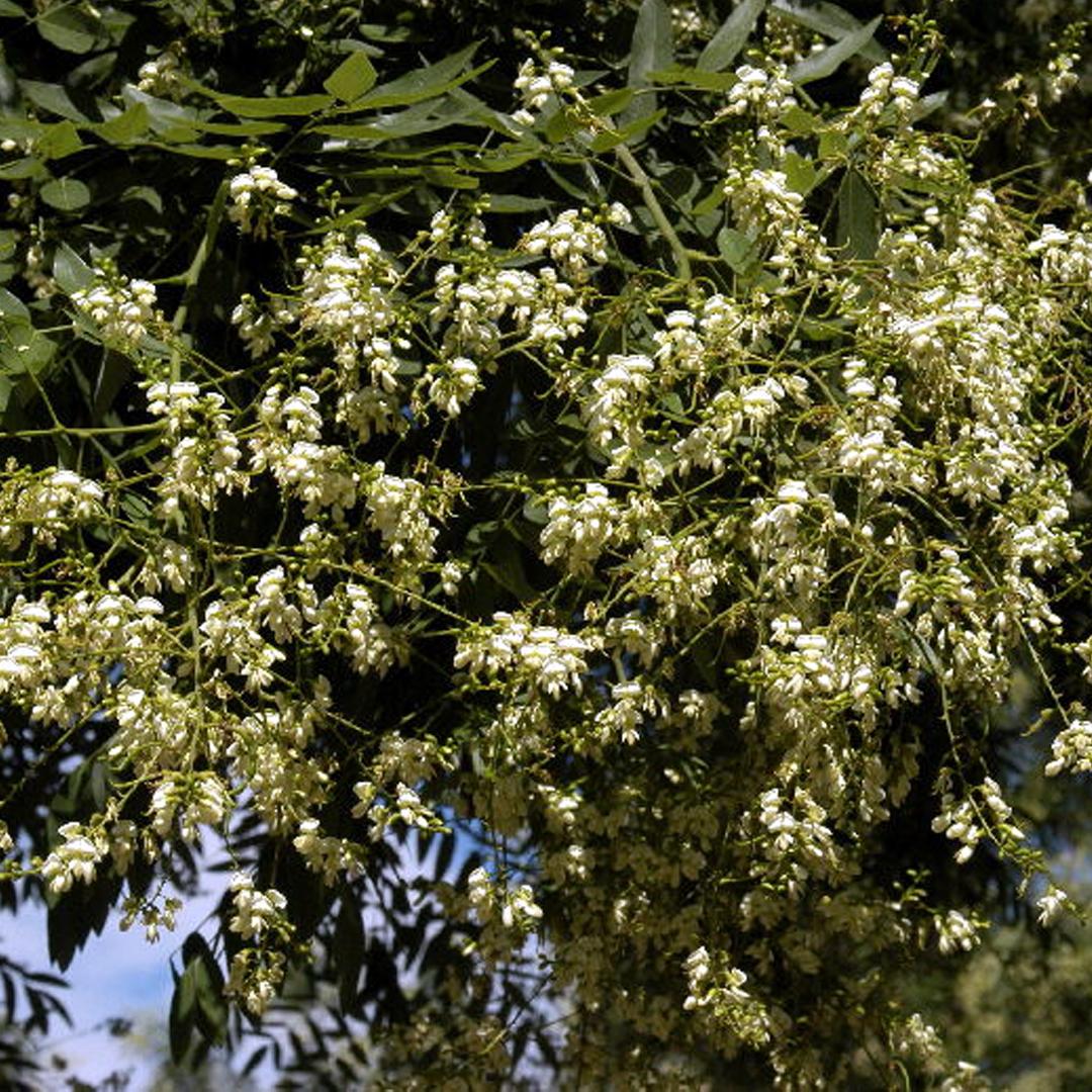 sophora du japon (styphnolobium japonicum) japanische schnurbaum