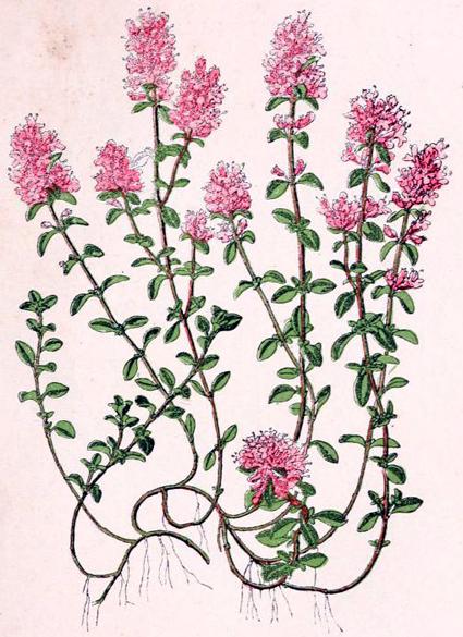 serpolet thymus serpyllum sand thymian phytotheque herbier herbarium. Black Bedroom Furniture Sets. Home Design Ideas
