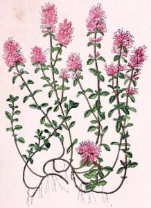 Serpolet (Thymus Serpyllum)