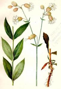 Silène dioïque (Melandrium dioïcum L.)