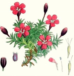 Siléne acaule (Silene acaulis L.)